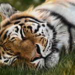as i dream, tiger pastel drawing realistic, hyperrealism art