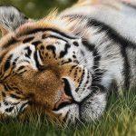 tiger drawing colour pastel pencil art, realism artwork